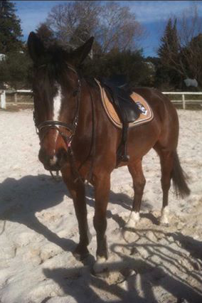 cheval a vendre-hongre selle francais