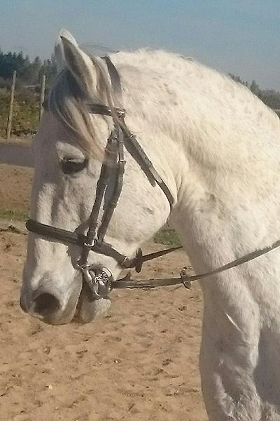 hongre lusitanien-cheval a vendre